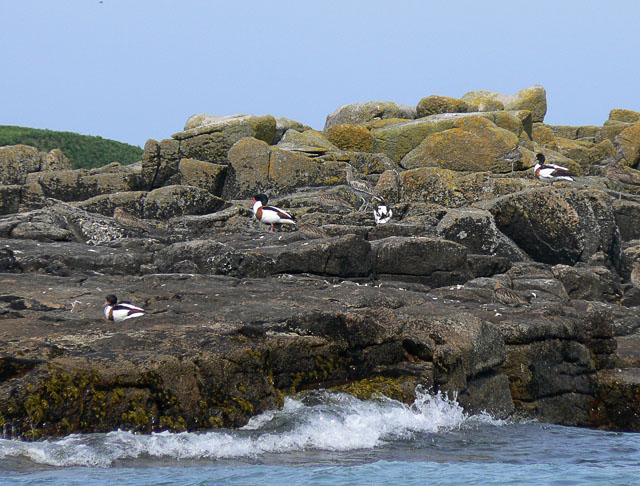 Sheldduck_on_Stony_Island,_Isles_of_Scilly