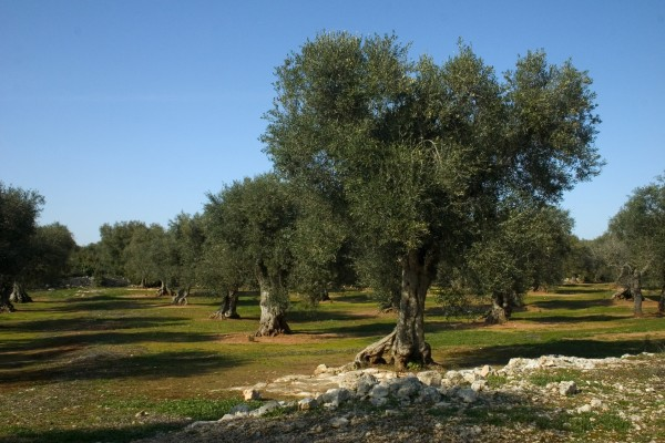 albero ulivo salento